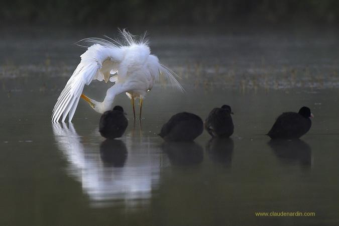 Grande Aigrette - Claude Nardin