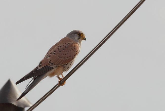 Faucon crécerelle (Falco tinunculus) photo © LPO Visionature