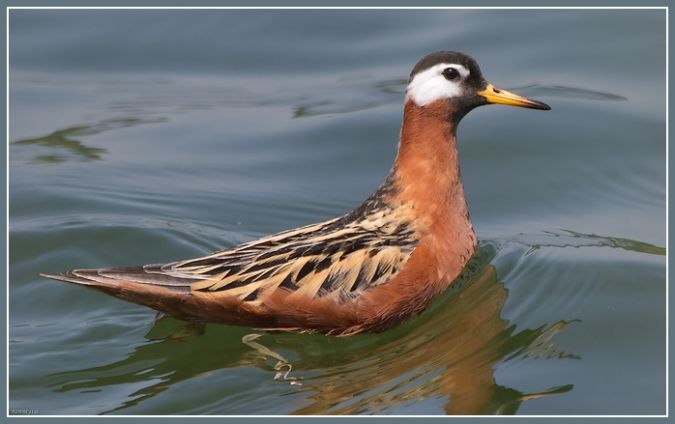 Phalarope  bec large  - Jean-Luc Ronn