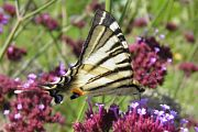 Scarce Swallowtail - Steve Jelf