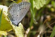 Short-tailed Blue - Steve Jelf