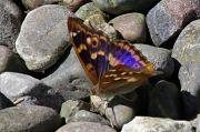 Lesser Purple Emperor - Steve Jelf