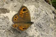 Wall Brown - Steve Jelf