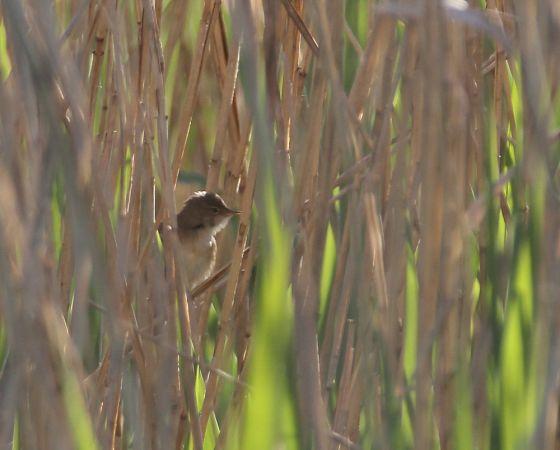 Eurasian Reed Warbler  - Alain Noel
