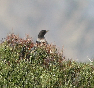 Ring Ouzel  - Alain Naves
