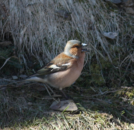 Common Chaffinch  - Alain Naves