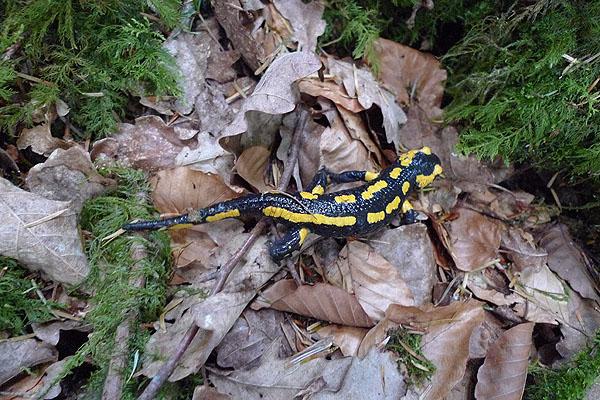 Salamandre tachetée  - Romain Riols