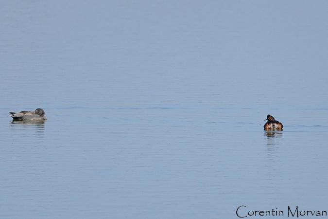Grèbe à cou noir  - Corentin Morvan