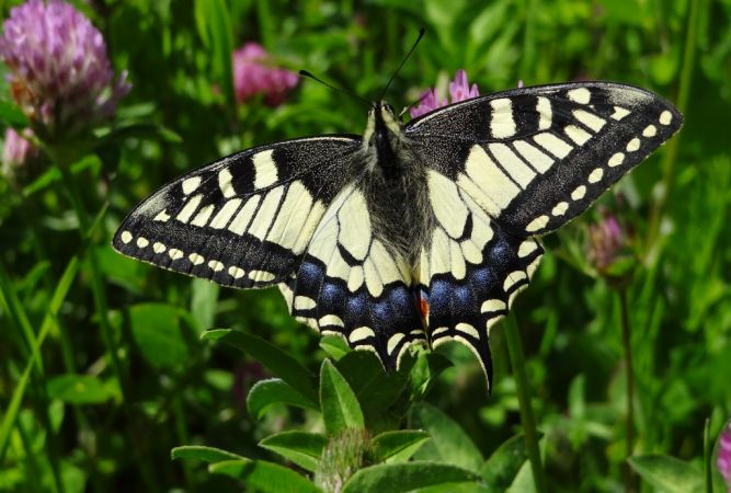 Machaon (Papilio machaon)  - Dominique Ceylo