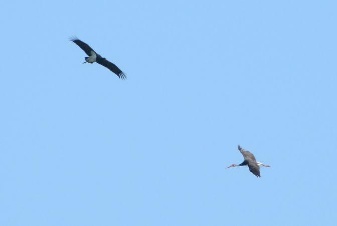 Cigogne noire  - Lucien Basque