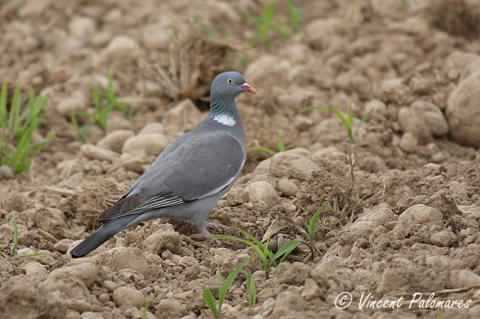 Pigeon ramier (Columba palumbus) photo © LPO Visionature