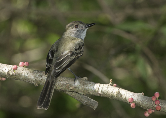 Dusky-capped Flycatcher  - Michel Giraud-Audine