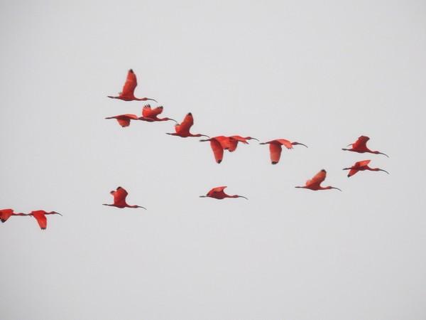 Ibis rouge  - Grégory Cantaloube