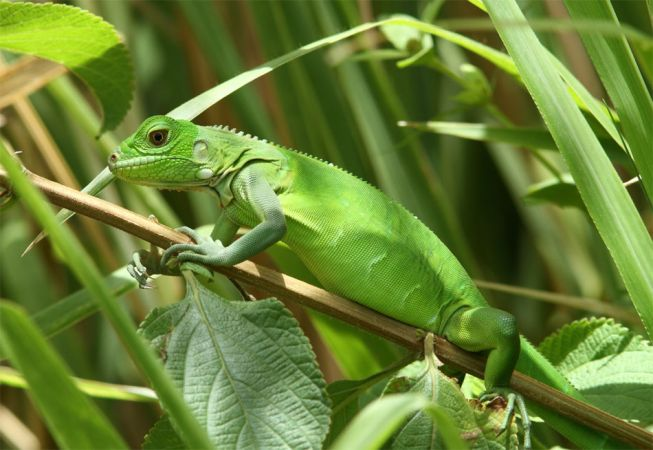 Iguane vert  - Marine Perrier