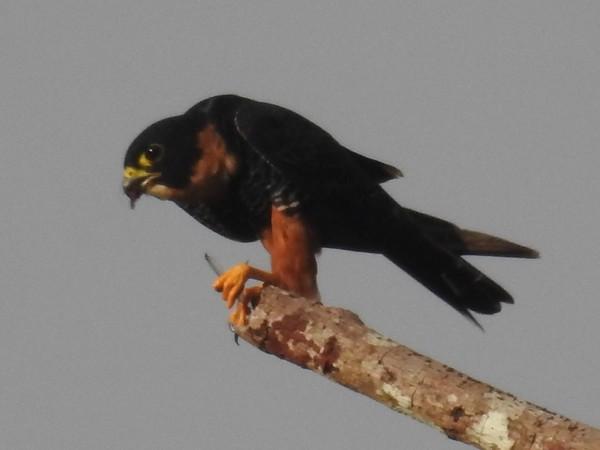 Faucon des chauves-souris  - Grégory Cantaloube