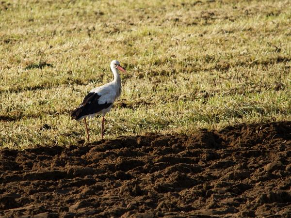 Cigogne blanche  - Franck Ramade