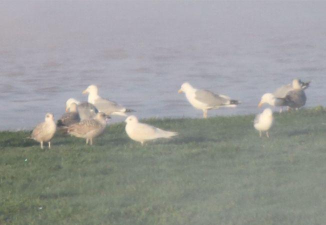 Goéland à ailes blanches  - Philippe Colin (lpo Groupe Ouest)