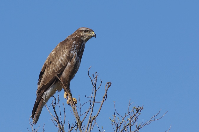 Buse variable  - Yves Lazennec (LPO Aude)