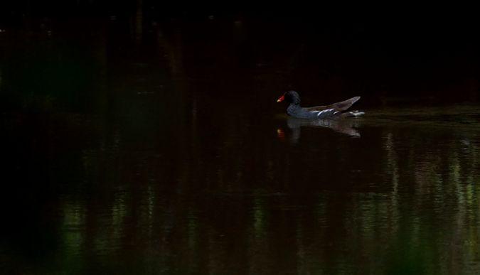 Gallinule poule-d'eau  - Gerard Laillier
