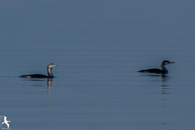 Plongeon arctique  - Daniel Boccabella