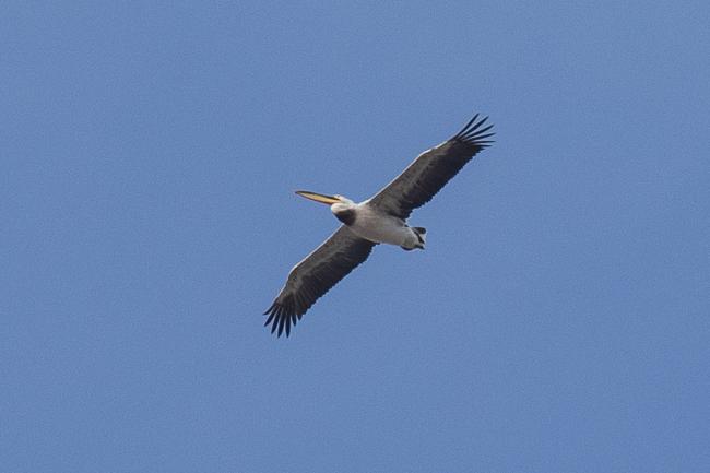 Pélican hybride blanc x frisé  - Guillaume Brouard