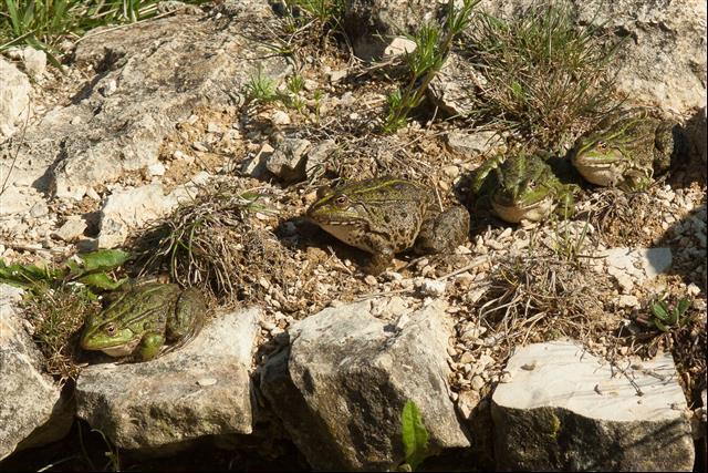 Grenouille verte indéterminée (Pelophylax sp.)  - Richard Fay
