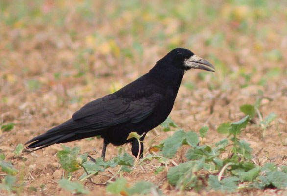 Corbeau freux  - Sorlin Chanel