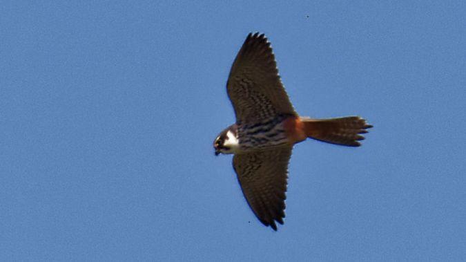 Faucon hobereau  - Christian Lenclud
