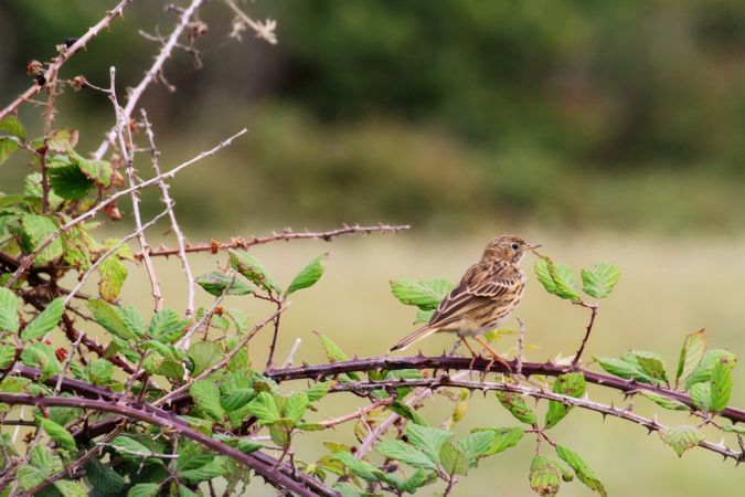 Pipit farlouse  - Emmanuel Gas