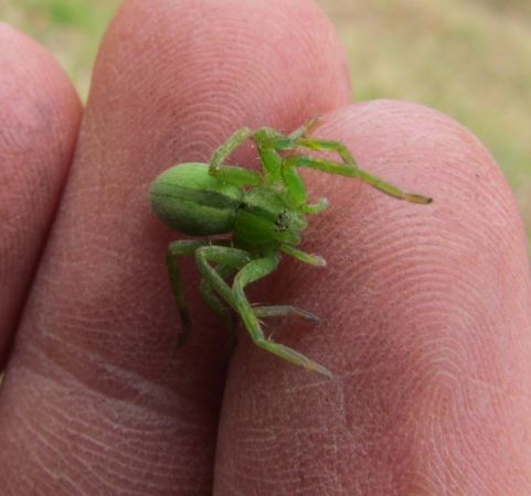 Micrommata virescens  - Rémi Pescay