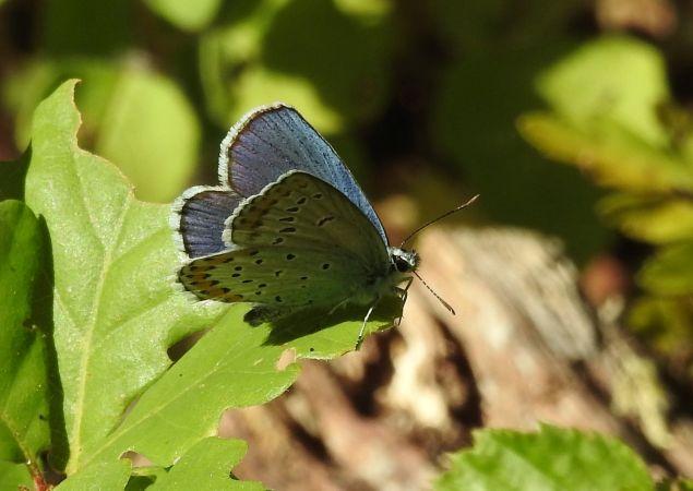 Azuré des Coronilles  - Antoinette Fleixas