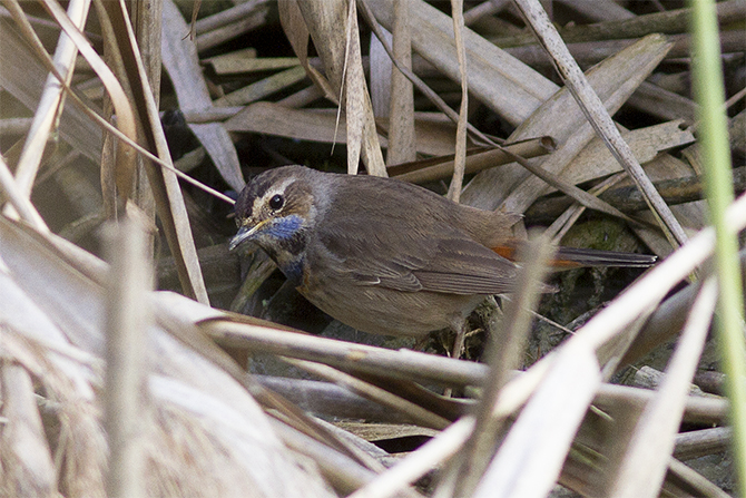 White-spotted Bluethroat  - Andreas Tiefenbach