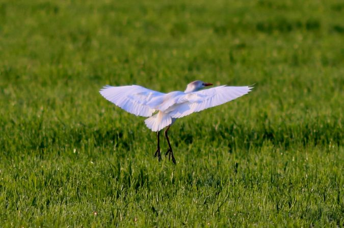 Cattle Egret  - Peter Denefleh