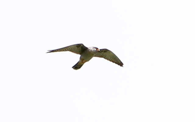 Red-footed Falcon  - Günter Mandl