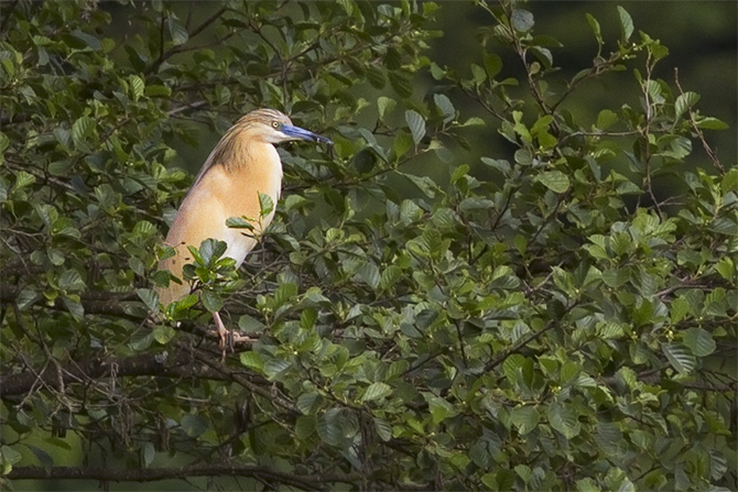Squacco Heron  - Andreas Tiefenbach