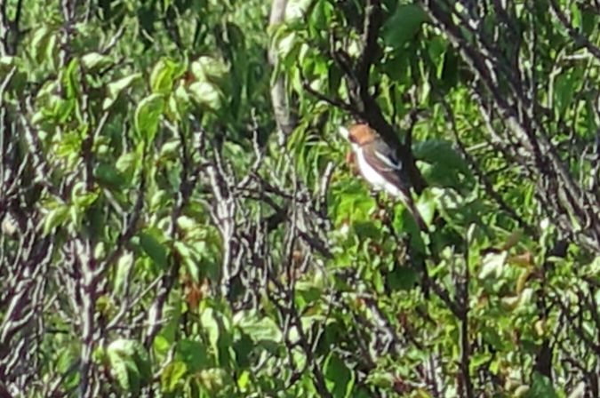 Woodchat Shrike (L.s.badius)  - Joan Estrada Bonell