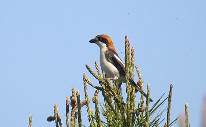Woodchat Shrike (L.s.badius)  - Manolo García