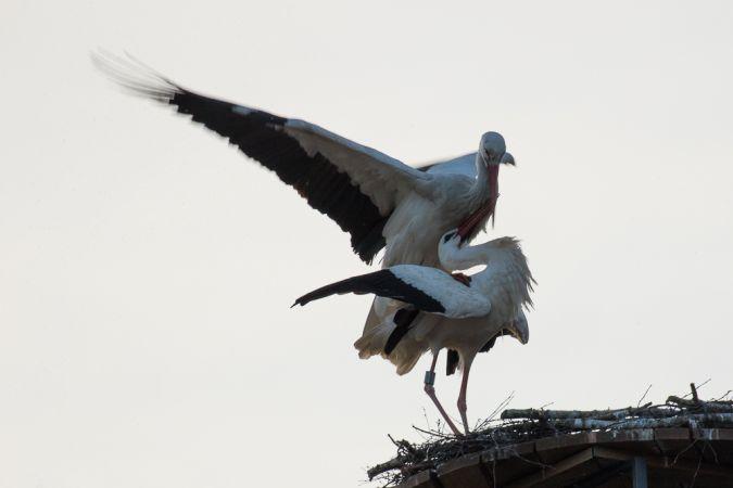 Cicogna bianca  - Robert Hangartner