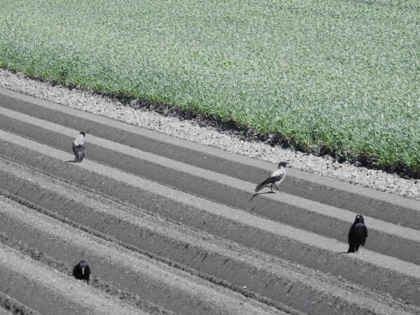 Hooded Crow  - Heinz Borgmann