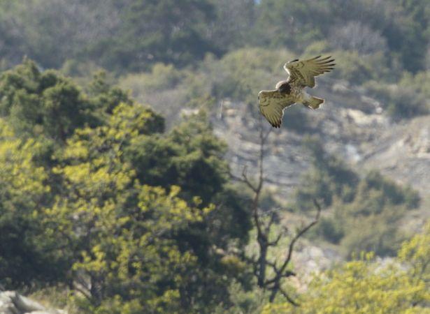 Short-toed Snake Eagle  - Nicolas Morisset