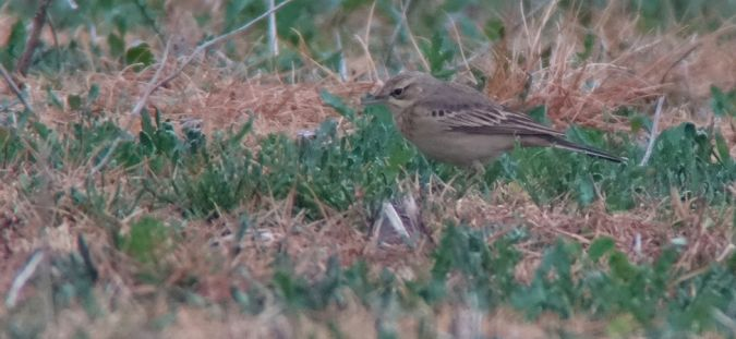 Tawny Pipit  - Harry Kälin