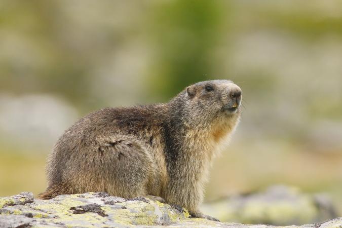 Marmotte des Alpes - Eric Bouchet