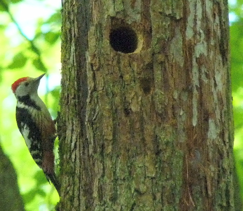 Middle Spotted Woodpecker  - Barbara Froehlich-Schmitt