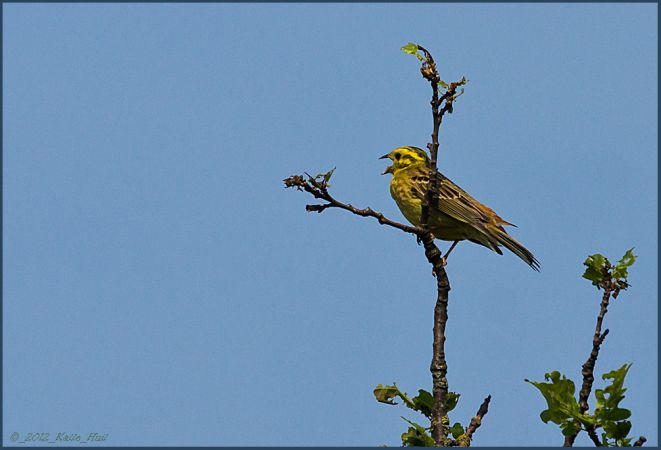 Yellowhammer  - Karl-Heinz Huil