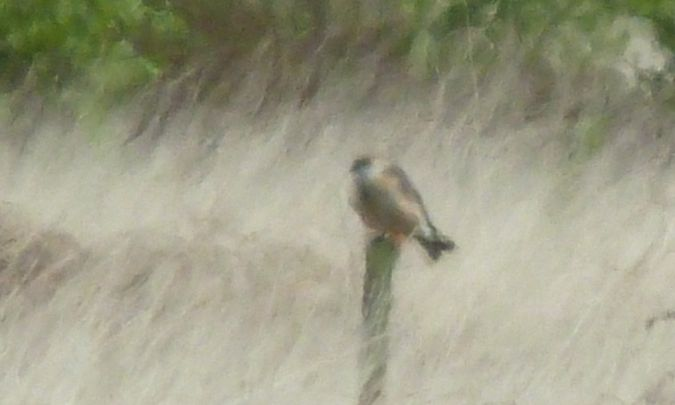 Red-footed Falcon  - Hilger Lemke