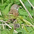 Common Whitethroat - Rembert G�dde