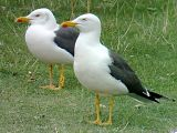 Lesser Black-backed Gull - Bernd H�lterlein