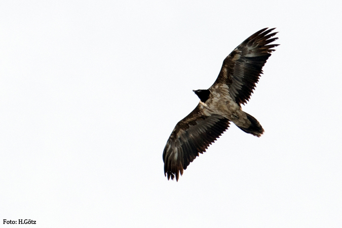 Bearded Vulture  - Heiner G�tz