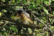 Common Redstart -