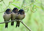 Barn Swallow -